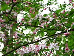 Crab apple tree that is flowering in the spring time