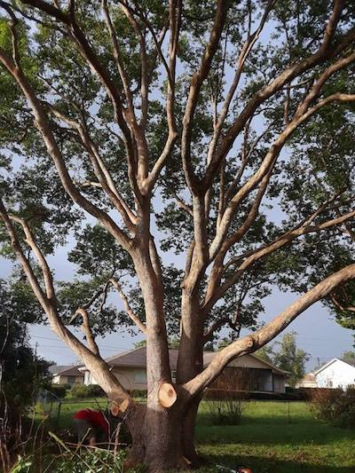Well Trimmed Tree by Lincoln Tree Service